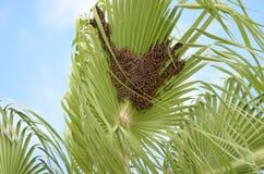 Honey Bees ocidental sul na folha da palmeira imagens de stock