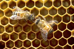 Honey Bees på bibikupan i Thailand och South East Asia royaltyfria foton