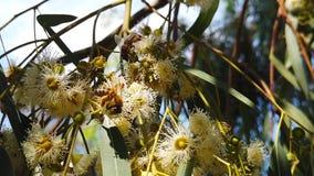 Honey Bees på eukalyptus blomstrar ultrarapid 03
