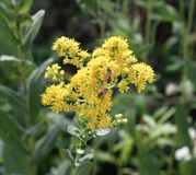 Honey Bees på Goldenrod Arkivfoton
