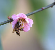 Honey bees in peach. Honey bees with beautiful pink blossoms stock photos