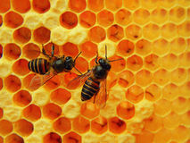 Honey Bees. This picture shows two Worker Honey Bees tending to a Honeycomb. The bright yellow background adds a unique vividness to the picture Royalty Free Stock Photos