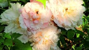 Honey bees pollinate beautiful flowers stock video footage