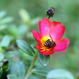 Honey Bees Pollinating in Garden. Two Honey Bees Hovering Around a Moss Rose Busy Pollinating Royalty Free Stock Images