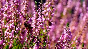 Honey bees pollinating Heather flowers with blurred out of focus bokeh in summer season 1080p stock video