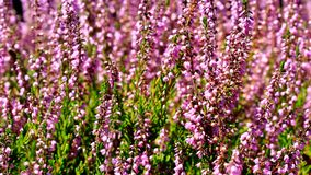 Honey bees pollinating Heather flowers with blurred out of focus bokeh in summer season 1080p stock video footage