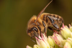 Honey Bees. Pollinating a succulent plant Royalty Free Stock Photos