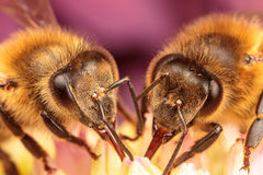 Honey Bees. Pollinating a succulent plant Stock Photography