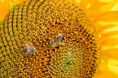 Honey Bees Pollinating Sunflower Images libres de droits