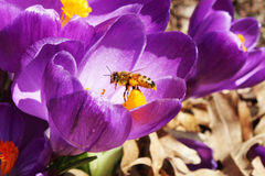 Honey bees pollination on Crocus spring flower closeup Royalty Free Stock Photos