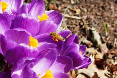 Honey bees pollination on Crocus spring flower closeup Royalty Free Stock Images