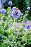 Honey Bees que recolecta el polen y el néctar en cardo de globo florece Fotografía de archivo libre de regalías