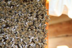 Honey bees and queen in the hive Stock Image