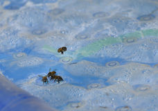Honeybees Stock Image