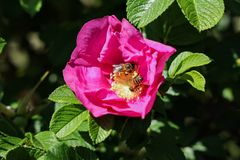 Honey bees on rugosa rose. Rugosa rose, beach rose, Japanese rose, Ramanas rose, or letchberry is a species of rose native to eastern Asia, in northeastern China stock photography