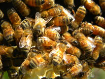 Honey bees see sunshine for the first time royalty free stock photography