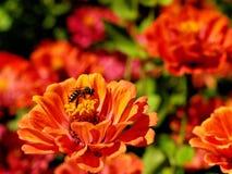 Honey Bees som arbetar med den röda blomman Royaltyfri Bild