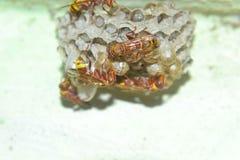Honey Bees su un pettine Fotografie Stock Libere da Diritti