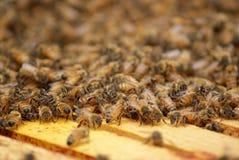 Honey Bees sullo scaffale di legno Immagine Stock