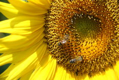 Honey bees on Sunflower Royalty Free Stock Images