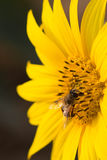 Honey bees in the sunflower Stock Photo