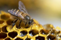 Honey Bees sur la ruche d'abeille Photographie stock libre de droits