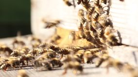 Honey Bees stock video