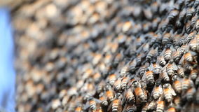 Honey bees in a swarm make a hive background. Royalty Free Stock Photos