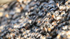 Honey bees in a swarm make a hive background. Royalty Free Stock Photography