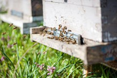 Honey bees swarming and flying around their beehive Royalty Free Stock Photo