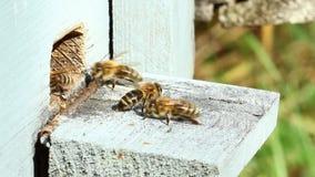 Honey bees stock video