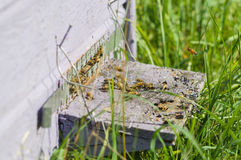 Honey bees swarming and flying around their beehive Royalty Free Stock Images