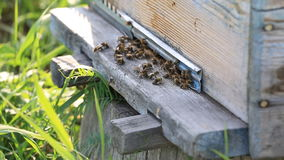 Honey bees swarming and flying around their stock video footage