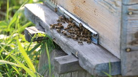 Honey bees swarming and flying around their stock video