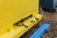 Honey Bees Swarming and Flying Around Their Beehive. Selective Focus. Bees Coming In and Out of Their Yellow Beehive. Wooden Bee Hive Close Up Stock Photo