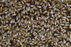 Honey bees swarming on a honeycomb Royalty Free Stock Photo