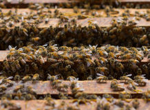 Honey bees swarming on a honeycomb Stock Photography