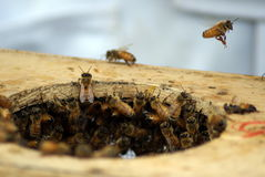 Honey bees Swarming Stock Photos