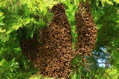 Honey bees swarming on tree royalty free stock photo