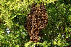 Honey bees swarming on tree royalty free stock images
