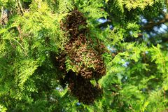 Honey bees swarming on tree stock image
