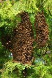 Honey bees swarming on tree royalty free stock photos