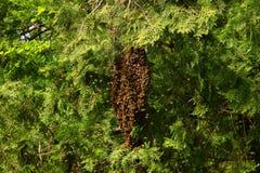Honey bees swarming on tree royalty free stock photography