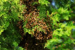 Honey bees swarming on tree stock photo