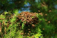 Honey bees swarming on tree royalty free stock image