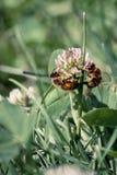 Honey Bees tillsammans II Arkivfoto
