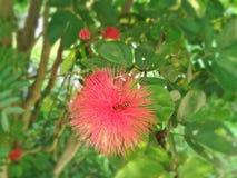 Honey Bees und rote Blume Lizenzfreies Stockbild