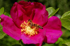 Honey bees on wild rose Royalty Free Stock Images