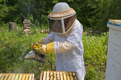 Honey Bees. A woman bee keeper gently smoking her bees Royalty Free Stock Image