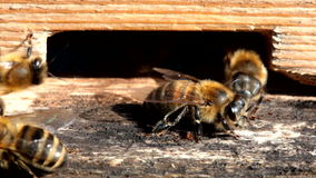 Honey bees stock video footage